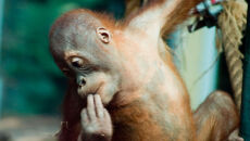 Orangutany dostaną iPady
