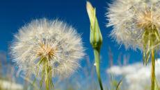 """""""Dmuchawce, latawce, wiatr"""" zmorą alergików"""