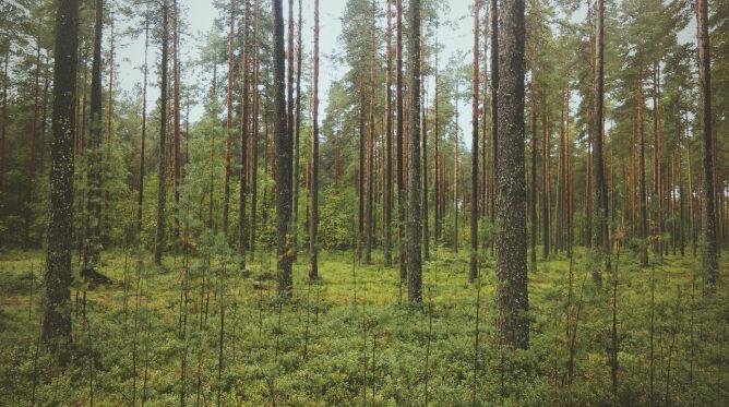 Policzono drzewa na świecie. Najwięcej jest ich w Rosji i w Skandynawii
