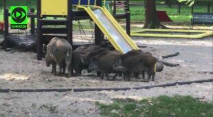 Dziki na placu zabaw